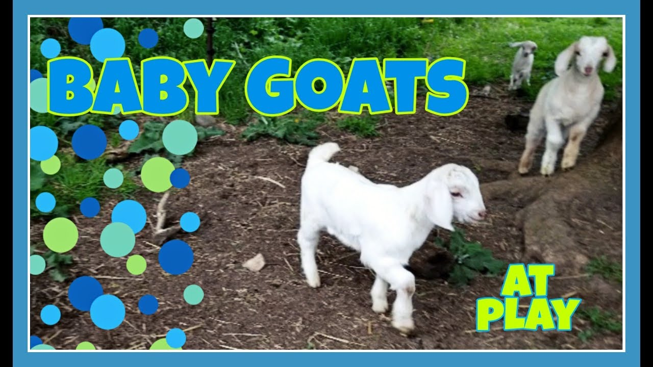 Day-old Baby Goats Playing on a See-saw - YouTube |Baby Goats Playing Youtube
