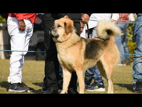 Himalayan Sheep dog | Delhi Dog Show 2018
