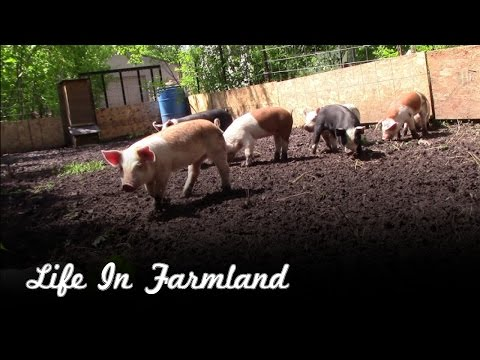 Starting the adventure of raising pigs and being more independent