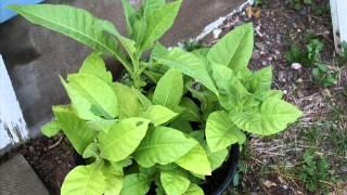Nicotina tabaccum growing vegatating blooming (aka tobacco plant) 2013 ☮