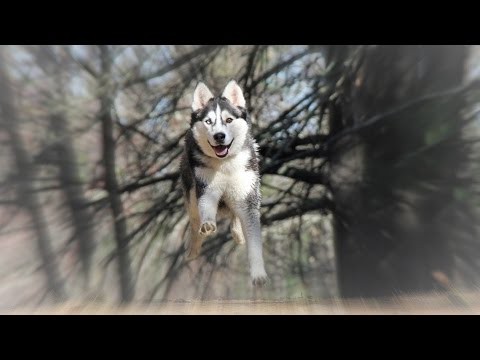 Mountain Biking in Woods with Man's Best Friend Siberian Husky Max - GoPro Session