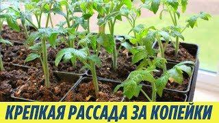 Подкормка РАССАДЫ от которой ваши растения БУДУТ КРЕПКИЕ всего за 5 рублей ДАЧНЫЕ СОВЕТЫ