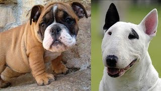 Top 10 razas de perros mas vendidos en el mundo 2da parte