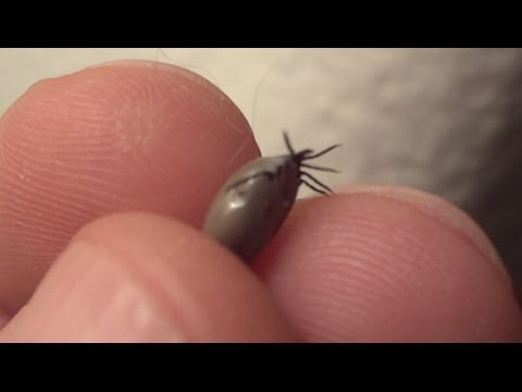 what does an engorged tick look like on a dog