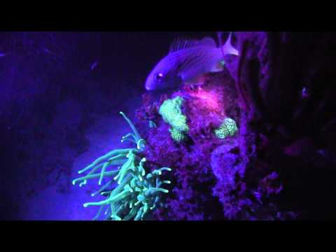 Ultraviolet Diving with Underwater Kinetics UV Lights