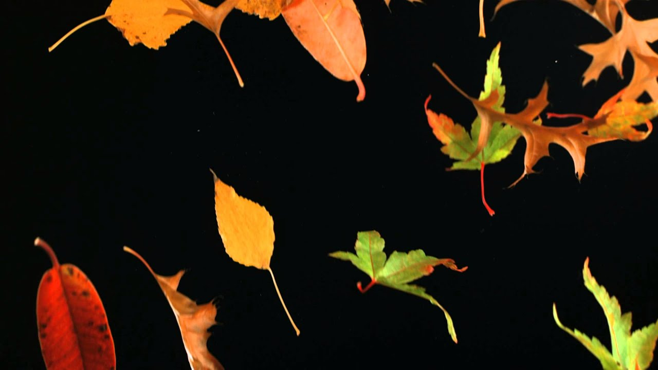 slow motion falling leaves and autumn leaf fall shot in slow mo high