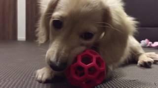 生後3ヵ月弱のミニチュアダックスフンドのマロン♀です。 ボールをただカ...