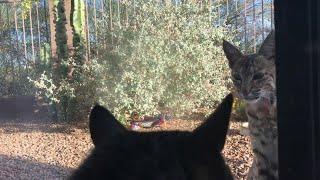 Il gatto è davanti alla finestra: dall'altra parte del vetro spunta una lince