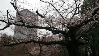 東京お花見散歩 日比谷公園の桜 2018.3.22  Hibiya Park  Sakura thumbnail