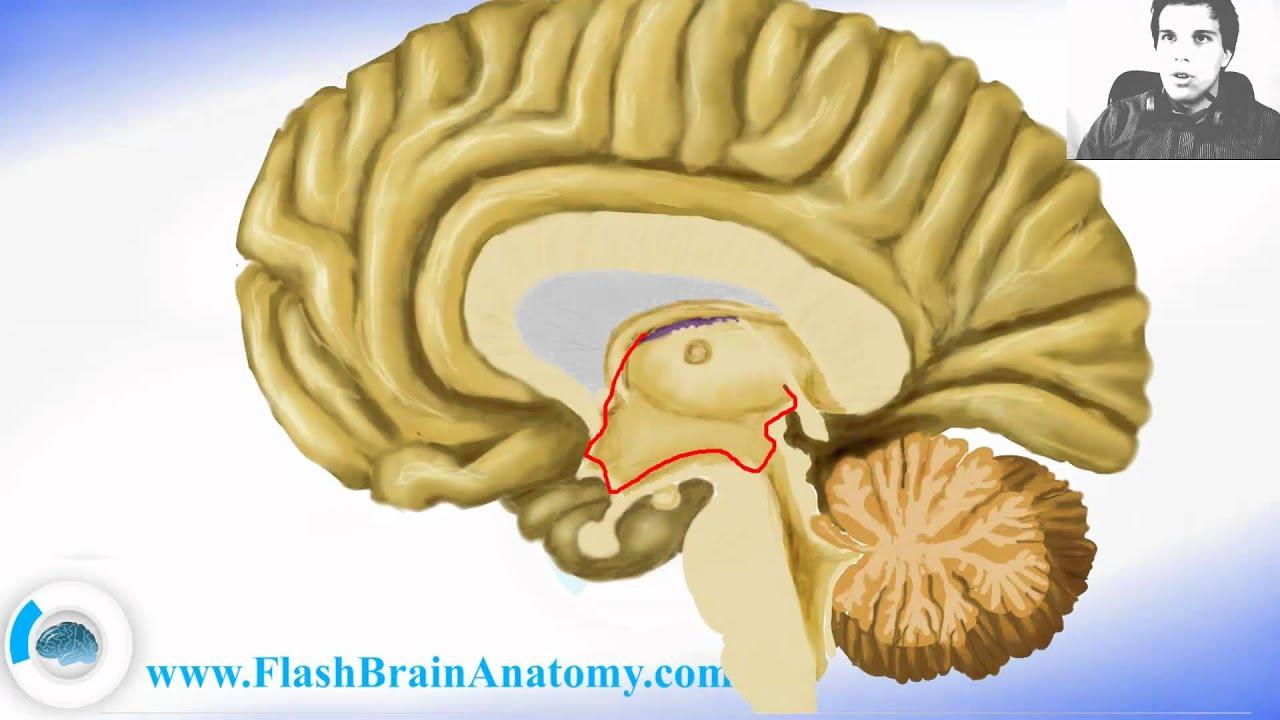 Brain Anatomy Diencephalon With Thalamus Hypothalamus Youtube