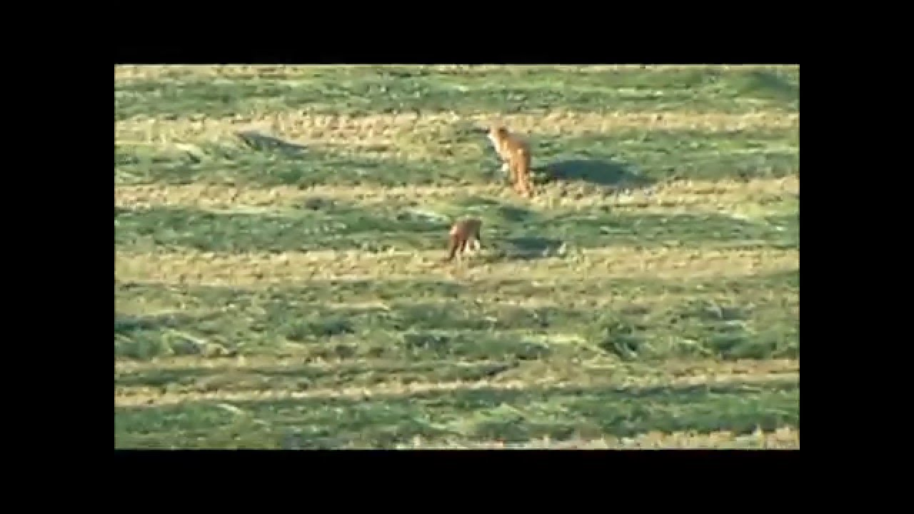 day light fox shooting