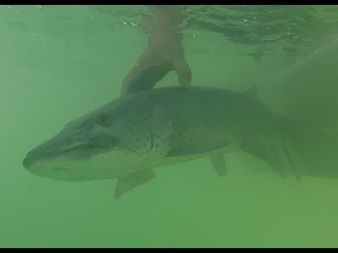 Underwater Musky Fishing video June 27th Lake St.Clair ...