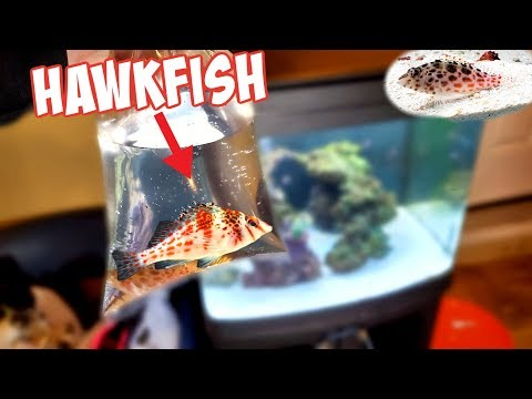 My NEW *HAWKFISH* For Saltwater Tank