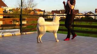 Akita dog training - not to take food until allowed