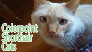 Colorpoint Shorthair Breed