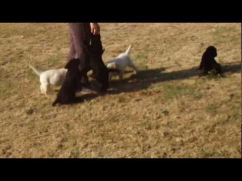 Cuccioli labrador gialli e neri giocano con acqua
