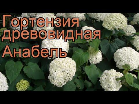 Гортензия древовидная Анабель (annabelle) 🌿 обзор: как сажать, саженцы гортензии Анабель