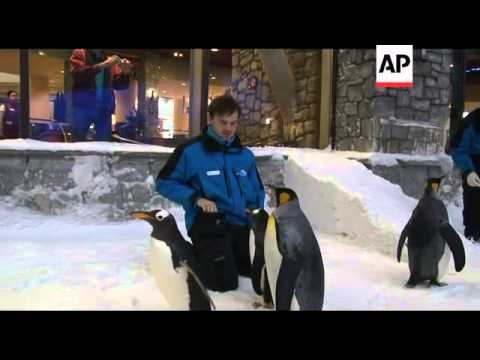 Imported penguins swoop into Dubai from US