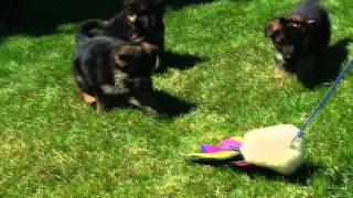 I-guard International German Shepherd Puppies For Sale