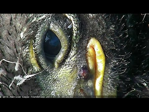 2017/01/14 9h02m NEFE Cam wet eaglet close up an eaglet with an Beetle and inflammation