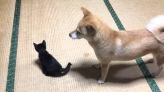 子猫のベビーシッターをする柴犬 Dog Babysitting kitten thumbnail