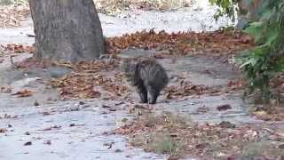 кошка без хвоста похожая на рысь a cat without a tail like a lynx