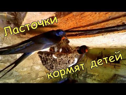 Как ласточки кормят птенцов видео