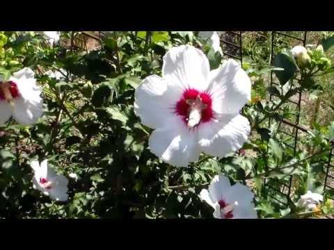 Цветы Гибискус сирийский