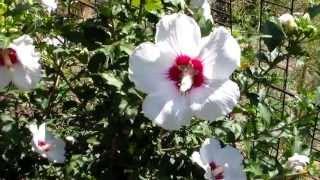 Цветы Гибискус сирийский(Декоративно цветущий кустарник. Комментируйте видео. Ставьте лайки, дизлайки., 2013-07-27T12:03:25.000Z)