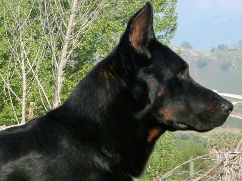 French Shepherd (Beauceron Berger de Beauce) - Dog Breed