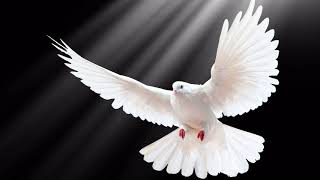 Картинка птица. Голубь, размах, крылья. Avium pictura. Dove, adductius, alis
