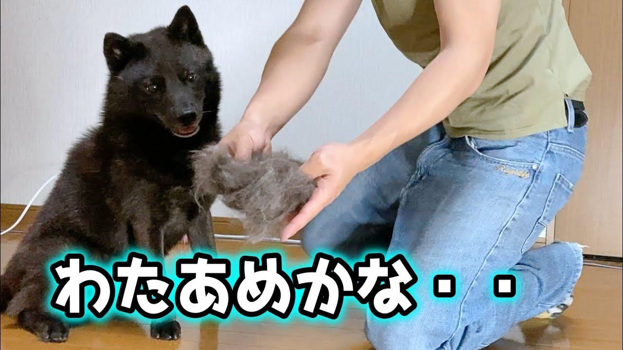 甲斐犬一休、自分の毛を食べる