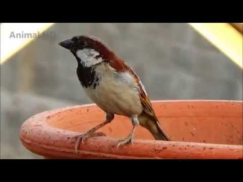 Sparrow Bird Full HD Video