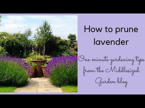 How To Prune English Lavender Youtube