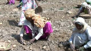Removing potato tubers from soil in Uttar Pradesh