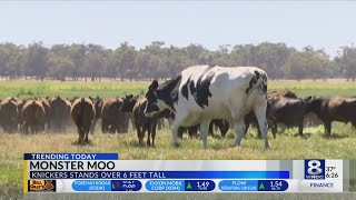 業者も「捌けない」と匙を投げるレベルのデカさ!巨大すぎる故、生き残った牛(オーストラリア)