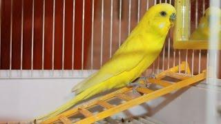Говорящий Волнистый попугай Часть 3