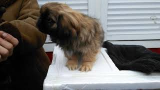 Влог Купили собаку! породы Пекинес