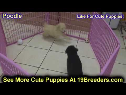 Standard Poodle, Puppies, Dogs, For Sale, In Miami, Florida, FL, 19Breeders, Tallahassee