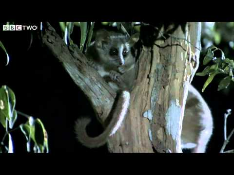 Lady Mouse Lemur Punches Mate in the Face - Madagascar, Land of Heat and Dust - BBC Two