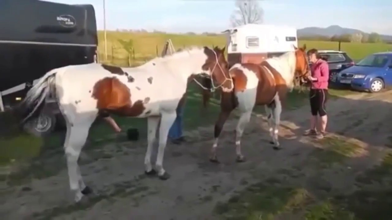 Horse Mating Process - YouTube