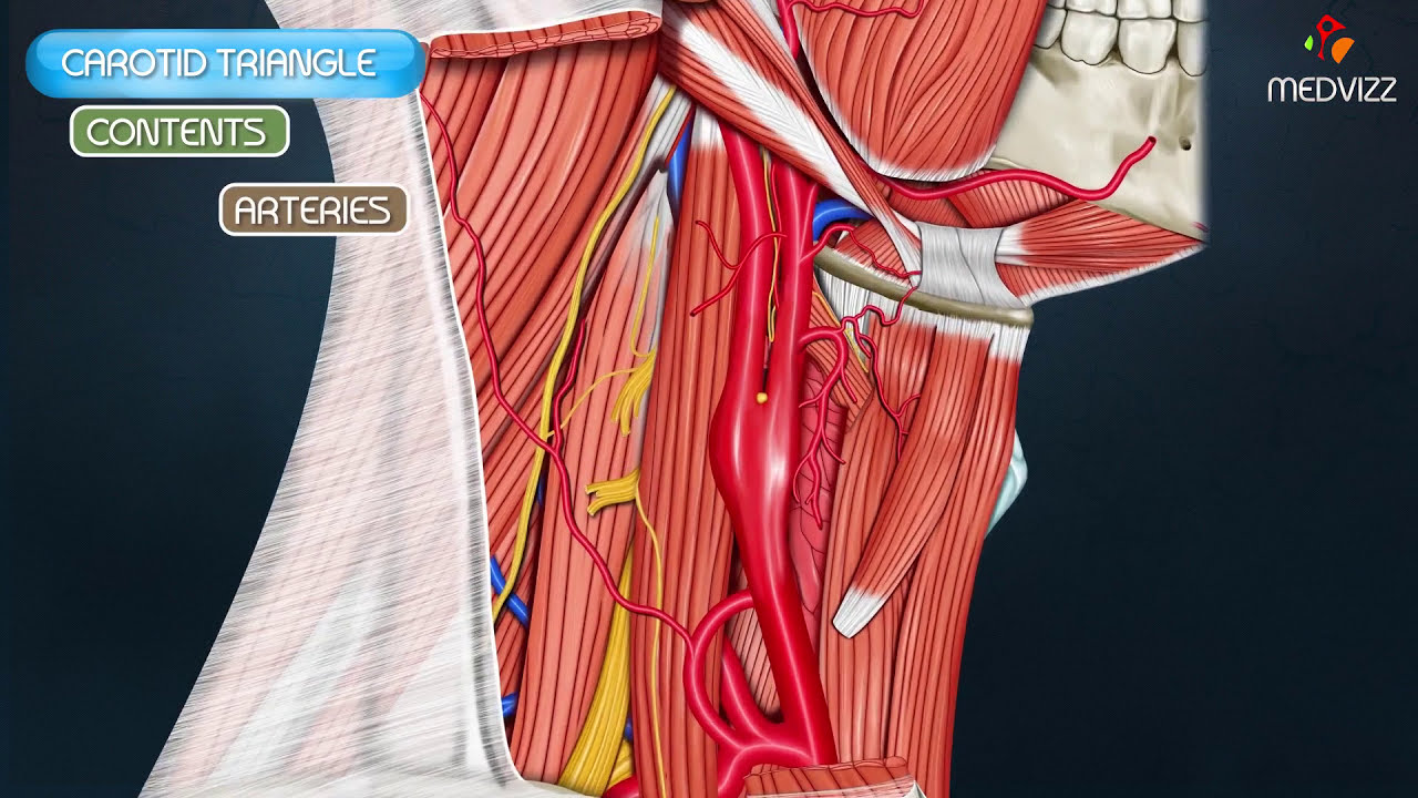 Carotid triangle - Animated Gross anatomy head and neck , medical ...