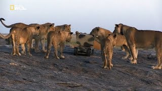 Lion Documentary - Lion Gangland - Nat Geo Wild HD