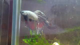 peixe beta deitado no fundo do aquario