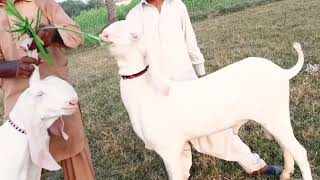 Top quality pure gulabi rajanpuri male goats for sale contact 03312216262..16.10.2019