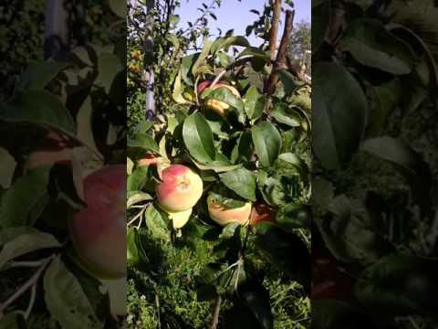 Сорт яблони Кандиль Орловский .
