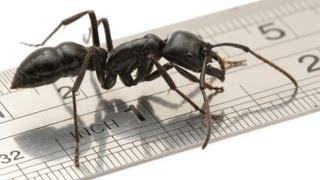 Die größte Ameise der Welt - The largest ant in the world