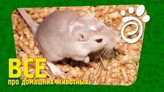 Мифы О Мышах. Все О Домашних Животных
