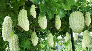 Awesome World's Most Bitter Fruit : Bitter Melon - Amazing Japan Agriculture Technology Farm #27