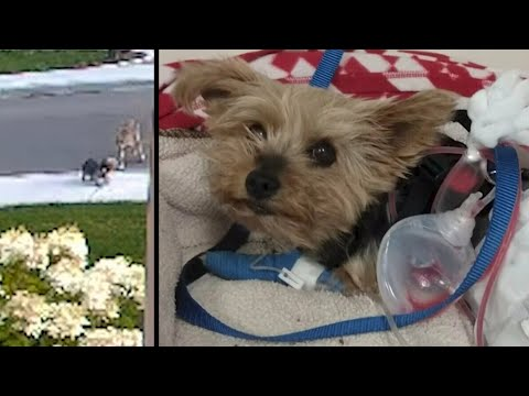 Watch this tiny terrier save her 10-year-old owner from an aggressive coyote